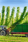 Harvesting the Hop — Stock Photo