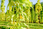 Hop Cones ready to harvesting — Stock Photo
