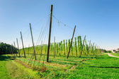 Hop plantation in Upper Austria — Stock Photo
