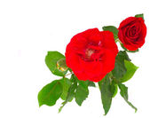 Red rose with buds — Stock Photo
