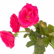 Pink roses with bud — Stock Photo