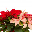 Poinsettia flower - christmas star — Stock Photo