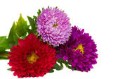 Bouquet of aster flowers — Stock Photo