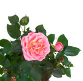 Pink rose with buds — Stock Photo