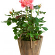 Rose in pot - Stock Photo