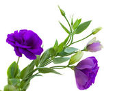 Eustomor blommor — Stockfoto