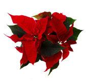Red poinsettia flower - christmas star — Stock Photo