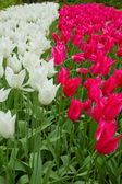 White and pink tulips — Stock Photo
