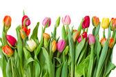 границы тюльпаны весной — Стоковое фото