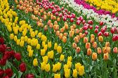 Holland tulips field — Stock Photo
