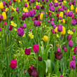 Stock Photo: Tulips flowerbeds