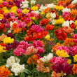 Stock Photo: Double tulips flowerbeds