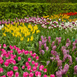 Stock Photo: Multicolored tulips flowerbeds