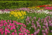 Multicolored tulips flowerbeds — Foto Stock