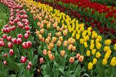 Holland tulips fields — Stock Photo