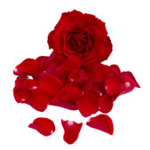Red rose with petals — Stock Photo