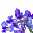 Blooming irises flowers — Stock Photo