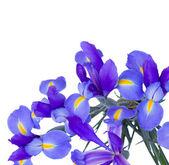 Blooming irises flowers — Stock Photo