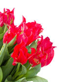 Red tulips close up — Stock Photo