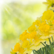 Stock Photo: Spring daffodils