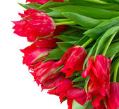 Fresh red tulips close up — Stock Photo
