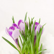 Purple crocuses in snow — Stock Photo