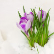 Violet crocuses in snow — Stock Photo