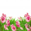 Pink eustoma flowers in grass — Stock Photo