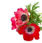 Red anemone flowers — Stock Photo