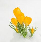 Yellow crocuses in snow — Stock Photo