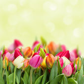 Tulips in garden — Stock Photo