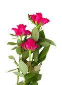 三个紫红玫瑰 — Stock fotografie
