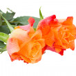 Two orange roses — Photo