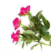 Three pink rose — Stockfoto