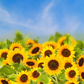 Fiels of sunflowers in sunny day — Stock Photo