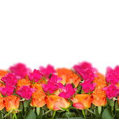 Orange and pink roses border — Stock Photo