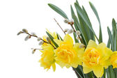 Daffodil flowers with catkins — Stock Photo