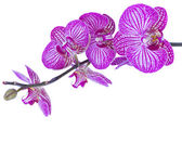 Orchid flowers branch — Stock Photo