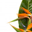 Bouquet o strelitzia flowers — Stock Photo