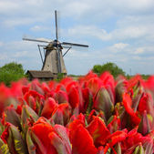 Dutch windmills with tulips — Stock Photo
