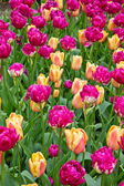 Colorful tulips flowerbeds — Stock fotografie