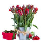 Spring tulip flowers in pot with gift box — Stock Photo