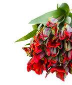 Pile fraîche de tulipes perroquet rouge — Photo