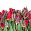 Row of  red parrot tulips — Foto Stock