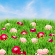 Green grass lawn with daisy flowers — Foto Stock