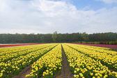 Dutch yellow tulip fields — Stock Photo