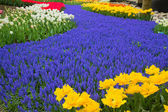 Blue river of flowers in holland garden — Stock Photo
