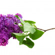 Brunch of  of Lilac — Stock Photo
