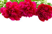Border of peony flowers — Stock Photo