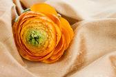 1 つのオレンジ ラナンキュラスの花 — ストック写真